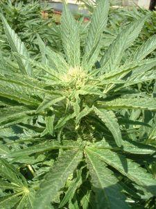 52691_marijuana_plant.jpg