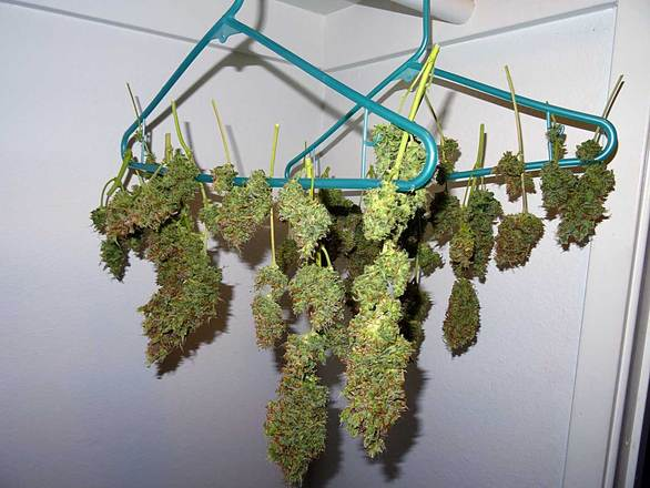 cannabis-drying-1618709.jpg