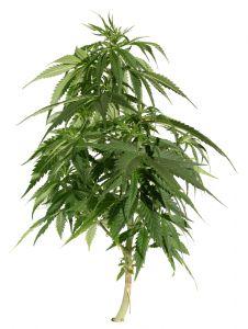cannabisplant.jpg