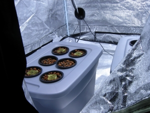 hydroponic-cannabis-seedlings-1423205-m.jpg