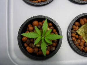 hydroponic-cannabis-seedlings-1423206-m.jpg
