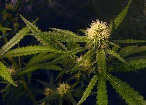 cannabisflower1