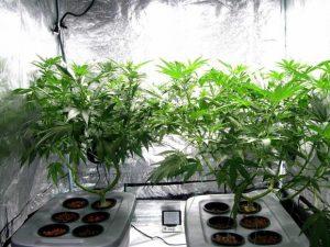 marijuana attorney