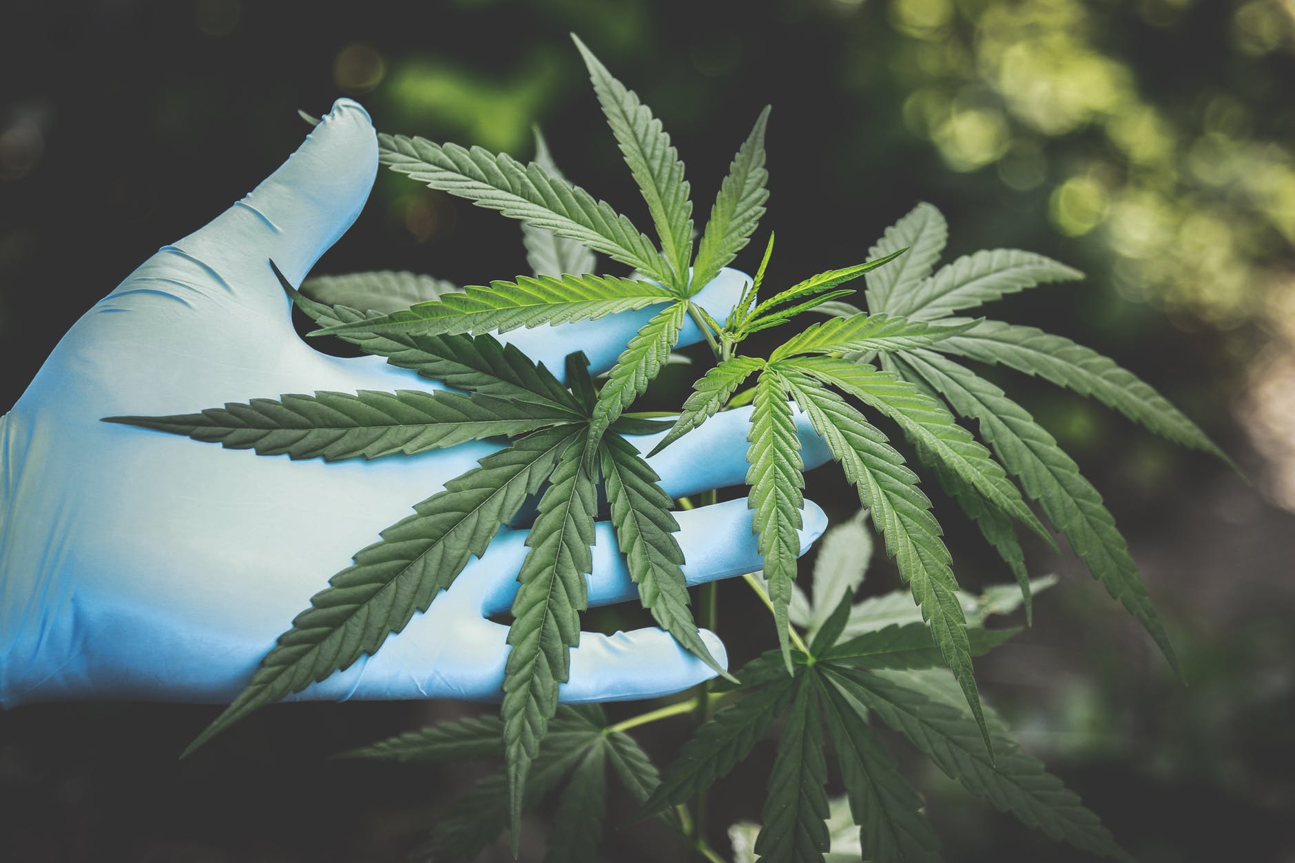 Image result for Cannabis: a flourishing business for lawyers