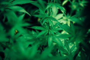 cannabis farm lawyer